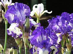 Irises Photograph - Iris Flowers Floral Art Prints Purple Irises Baslee Troutman by Baslee Troutman