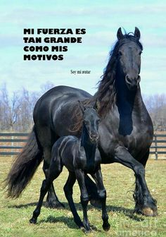 Friesian black horse stallion dressage baroque, mare and foal, gorgeous horse running in their pasture, field, black beauty. Pretty Horses, Horse Love, Beautiful Horses, Animals Beautiful, Cute Animals, Beautiful Beautiful, Beautiful Family, Beautiful Things, Beautiful People