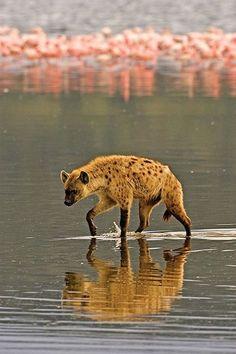 Hiena por el lago de los flamencos.