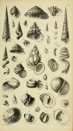 #33 - 1868 - A manual of the Mollusca : a treatise on recent and fossil shells / by Dr. S. P. Woodward ; illustrated by A. N. Waterhouse and Joseph Wilson Lowry. via BHL