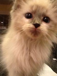 Pictures of Birman Cat Breed