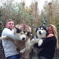 Undeniable Reasons to Own a Siberian Husky Ideas. Irrefutable Reasons to Own a Siberian Husky Ideas. Giant Alaskan Malamute, Malamute Husky, Alaskan Husky, Siberian Husky Dog, Husky Puppy, Alaskan Malamute Puppies, Love Dogs, Big Dogs, Dogs And Puppies