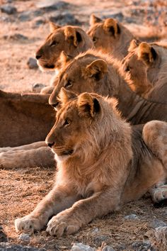 *Watching on the Sidelines (by Christopher Spiteri) Lioness Pride Lions Wildlife Photography Animals