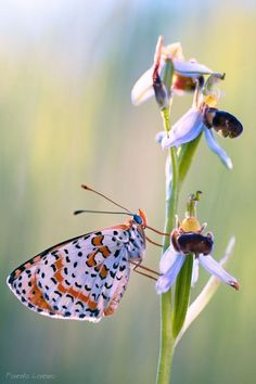 The butterfly and the orchid by ~Verdenwelt on deviantART by Divonsir Borges