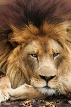 The Lion -- Regal visage - resting but still watching you! God IS the Lion of the Tribe of Judah!