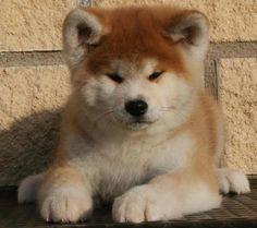 Os akitas inu são os cães com pior comportamento – ter um pode até afetar negativamente o contrato do seu seguro saúde nos EUA.