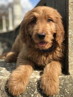 Litter Of 4 Golden Retriever Puppies For Sale In Benton Ar Adn