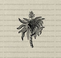 INSTANT DOWNLOAD vector clip art graphic of a sugarcane tree, charming tropical botanical illustration restored from an antique botany textbook. Description from etsy.com. I searched for this on bing.com/images