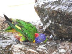 Lorikeet bathing