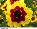 Coreopsis from a great seed site on the web -- Todd's Seeds. Flower Farm, Beautiful Flowers, Seeds, Plants, Plant, Planets