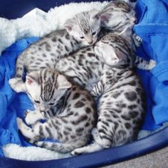 Irresistible silver Bengal kittens - I want these too!