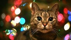 cat christmas wallpaper hd