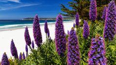 Blooming Pride of Maderia, Carmel,  California