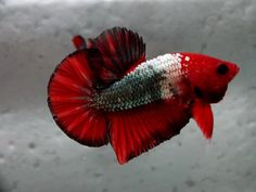 Mr. Hell Boy, a halfmoon plakat betta #fish