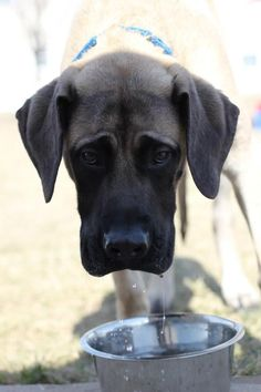 Our American Mastiff months) from Flying W Farms. Most amazing dog ever. Big Dogs, Large Dogs, Girls Best Friend, Best Friends, American Mastiff, 2 Month Olds, Pit Bulls, 2 Months, Labs