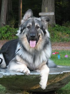 American Alsatian- new dog breed. I want one of these. bred to resemble the bone structure of the ancient dire wolf and the only dog bred specifically for human companionship. I WANT ONE OF THESE.