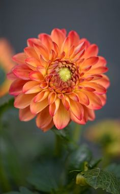 ~~September Song | Woodland Taco Time Dahlia | by Robin Evans~~