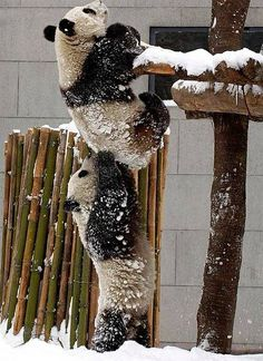 In this picture two pandas are trying to get something from on top of them. This picture shows that teamwork is important because one panda could not have stood high enough alone. If they did not have each other, the pandas would not get what they wanted. Funny Animal Pictures, Cute Pictures, Beautiful Pictures, Bear Pictures, Beautiful Boys, Beautiful Creatures, Animals Beautiful, Amazing Animals, Cute Baby Animals