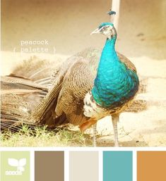 Peacock Palette  I like the unexpectedness of the turquoise and the ... butternut squash (?) color? :)