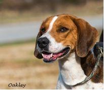 Oakley - English Foxhound mix Mans Best Friend, Best Friends, English Foxhound, The Fox And The Hound, Unconditional Love, Oakley, Dogs, Animals, Beat Friends