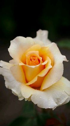 Such beauty of a rose Beautiful Rose Flowers, Love Rose, Flowers Nature, Pretty Flowers, Exotic Flowers, Purple Flowers, Yellow Roses, Red Roses, Pastel Yellow