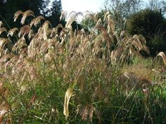 Miscanthus nepalensis All Plants, House Plants, South Devon, House By The Sea, Seaside, Ash, Coastal, Gray, Indoor House Plants