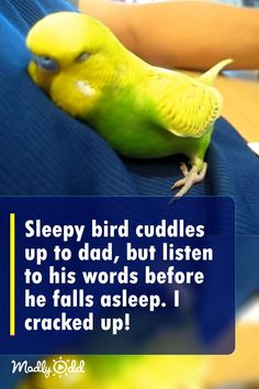 This is a budgie named Pedro, and it's bedtime. Every night before he goes to … This is a budgie named Pedro, and it's bedtime. Every night before he goes to sleep, this little bird has a unique ritual that he always goes through. Cute Baby Animals, Animals And Pets, Funny Animals, Funny Birds, Cute Birds, Funny Animal Videos, Funny Animal Pictures, Funny Parrots, Animaux
