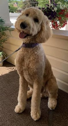 Goldendoodle Haircuts, Labradoodle, Really Cute Dogs, I Love Dogs, Stella Luna, Golden Doodles, Quinceanera Cakes, Kinds Of Dogs, Doggy Stuff