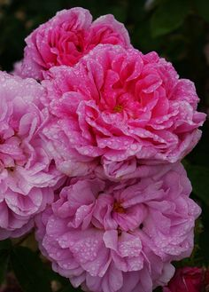 Moss Rose 'Salet' (antique rose, not portulaca)