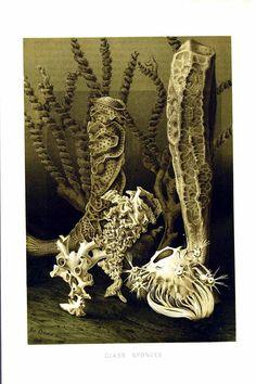 Venus Flower Basket Euplectella Aspergillum A Sponge That Lives In Deep Ocean Around The