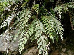 Asplenium filare ssp.canariense - From Tenerife, Canary Islands, Spain