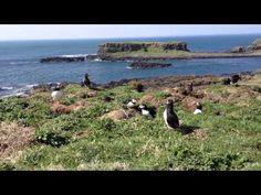Puffin Therapy in the Treshnish Isles - Scotland - Ordinary Traveler