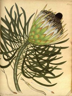 botanical illustration by Henry Andrews, Protea longifolia, from The Botanist's Repository, Vintage Botanical Prints, Botanical Drawings, Antique Prints, Botanical Art, Illustration Botanique, Plant Illustration, Botanical Illustration, Old Illustrations, Merian