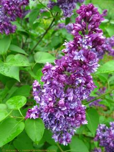 1000 Images About Imaginary Garden On Pinterest Syringa