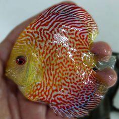Discus Fish For Sale, Aquarium Fish Tank, Creature Concept, Red Panda, Creatures, Terrariums, Aquariums, Animals, Tanked Aquariums