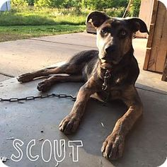 St Paul, MN - Shepherd (Unknown Type) Mix. Meet Scout, a dog for adoption. http://www.adoptapet.com/pet/11129433-st-paul-minnesota-shepherd-unknown-type-mix