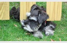 Miniature Schnauzer puppy that is cute.