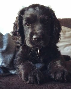 "Explore our website for additional details on ""cocker spaniel"". It is a great area to get more information. Cute Funny Animals, Cute Baby Animals, Animals And Pets, Black Cocker Spaniel, Cocker Spaniel Puppies, Cute Dogs And Puppies, Pet Dogs, Doggies, Working Cocker"