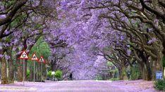 Albero di palissandro in fiore, Sud Africa