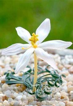 Gethyllis Linearis - http://jardineriaplantasyflores.com/fotos/gethyllis-linearis/