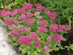 Garden Plants, Perennials, Natural Beauty, Herbs, Patio, Outdoor Decor, Green, Nature, Flowers