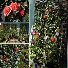 Espalier Camellias - Poppy's Home & Garden