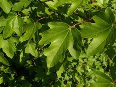 Javor babyka (Acer campestre) - jeho listy se trochu podobají na hloh.  Rovněž jsou jedlé, některé jsou slaďoučké, jiné hořčí, ale mladé jsou velmi chutné.  Javory mají také jedlé květy.  Listy stromů jsou obecně skvělé jako základ salátu.  Nestriekaný má mnohem více vitamínů.  Lze je přidávat do smoothies, připravit jako špenát nebo kvasit jako kvašáky.  Jsou plné vitamínů, zejména vitamínu C a K, živin, kyseliny listové a dalších vzácných látek.  Nejlepší jsou mladé během prvních pár týdnů... Acer, Hampton Court, The Hamptons, Plant Leaves, Smoothies, Plants, Garden Ideas, Google, Smoothie