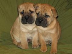 Meet my new puppies. Would you like to know what kind they are? Ori-pei. PUG. SHAR PEI. HYBRID.
