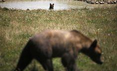 Los osos se ven en su recinto en una reserva cerca de Zarnesti, norte 250 km de Bucarest, Rumania, el 11 de agosto de 2008. Con la mitad de los osos pardos de Europa que viven en las montañas de Rumania en gran parte intacta de los Cárpatos, los ecologistas y las autoridades locales están luchando para mantener a los animales salvajes y residentes en pueblos de montaña como Brasov seguros el uno del otro.