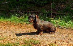 Auch mein Ferienkind Oskar freut sich, ... dass die Sonnenanteile jetzt wieder zunehmen und der Regen wärmer wird. Dann sind auch die Gerüche der anderen Hunde und Katzen nicht so verwässert. :-) http://www.rauhaardackel.org/