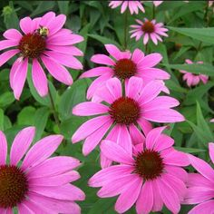 #DidYouKnow that #Echinacea helps fight infections and stimulates the immune system? (Try our awesome Immu-Plus Echinacea!)