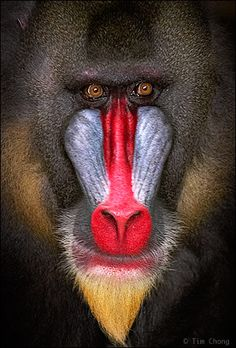 "mandrill - what an incredible creature. and this pic reminds me of  the cover of my brother's ""mandrill"" LP."