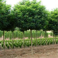 ROBINIA pseudoacacia Umbraculifera (Acacia boule)