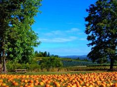 Apple Hill - Placerville, Boa-vista-orchards. The most delicious place to be in fall. #DTNFallContest